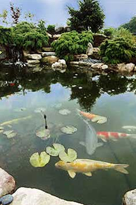 Garden Koi Pond Picture